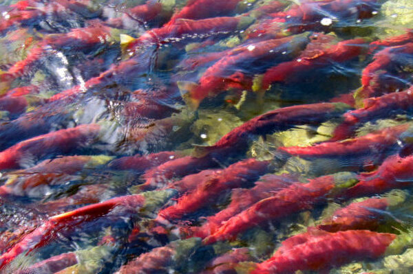 HEADER1_Salmon_DPickard