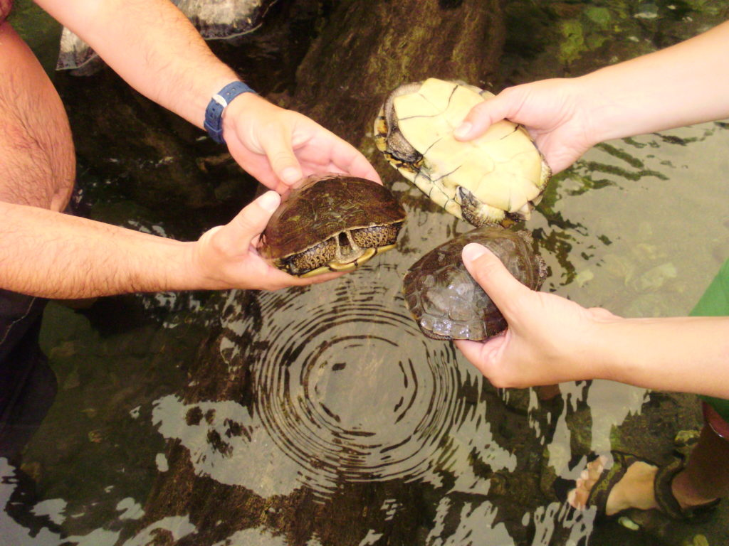 Monitoring of western pond turtles, a key species that will benefit from the Trinity River Restoration Program. Regular monitoring of valued ecosystem components is critical to understanding the effectiveness of restoration actions and adjusting, if necessary, through adaptive management.